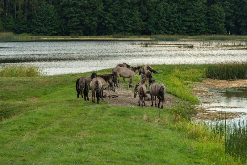 Άλογα, ηχώ Stawy, εθνικό πάρκο Roztocze, Πολωνία στοκ φωτογραφίες