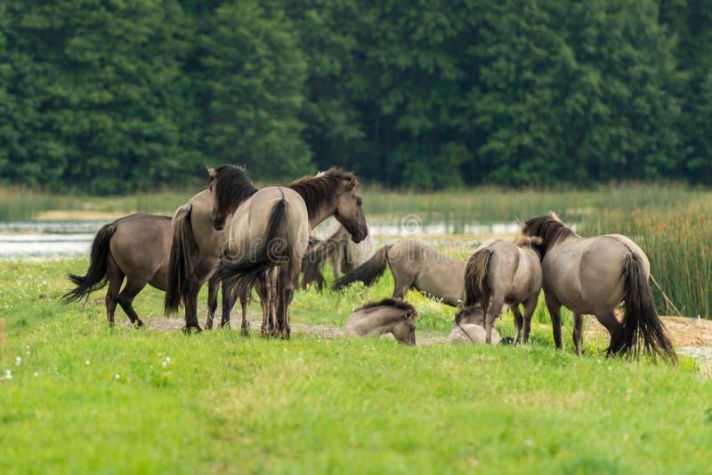 Άλογα, ηχώ Stawy, εθνικό πάρκο Roztocze, Πολωνία στοκ εικόνα με δικαίωμα ελεύθερης χρήσης