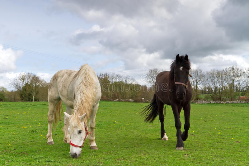 άλογα ιρλανδικά στοκ εικόνες
