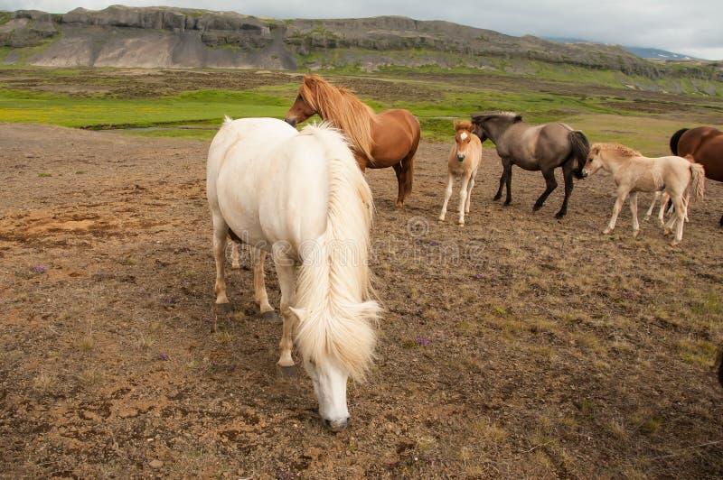 Άλογα και αυτή μικρά foals στοκ εικόνα με δικαίωμα ελεύθερης χρήσης