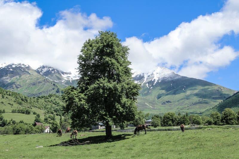 Άλογα κοπαδιών σε έναν πράσινο τομέα και δέντρο μόνο στο βουνό Καύκασο στοκ εικόνες με δικαίωμα ελεύθερης χρήσης
