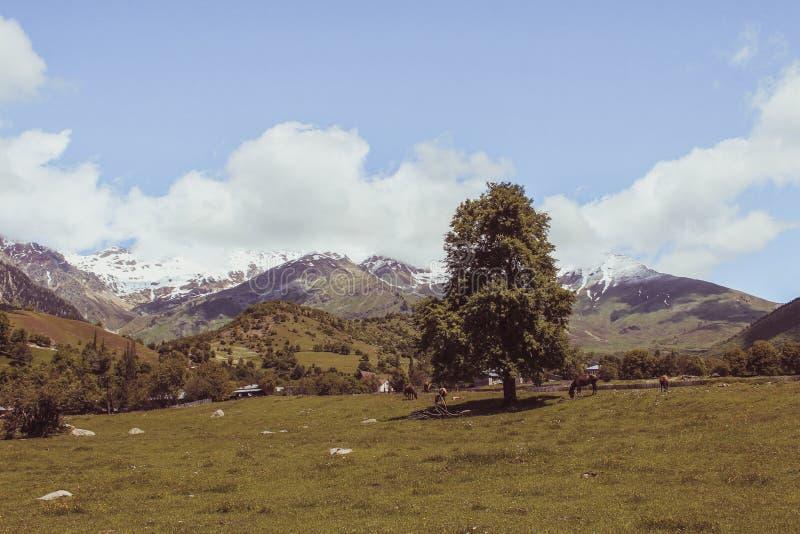 Άλογα κοπαδιών σε έναν πράσινο τομέα και δέντρο μόνο στο βουνό Καύκασου στοκ εικόνες με δικαίωμα ελεύθερης χρήσης
