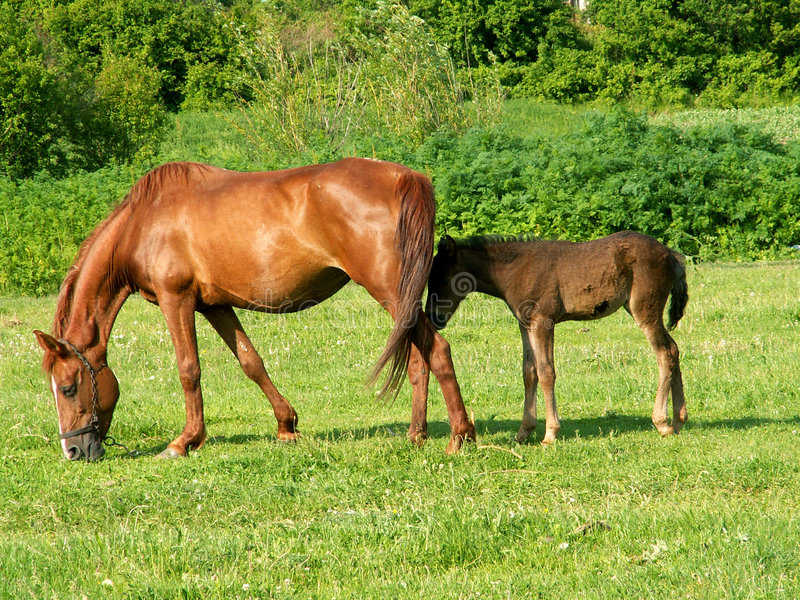 Download άλογα πεδίων στοκ εικόνες. εικόνα από πεδία, άλογα, μητέρα - 124808