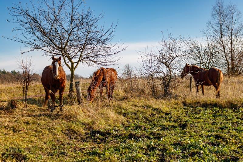 Άλογα που βόσκουν σε έναν πράσινο χορτοτάπητα στο κλίμα μπλε ουρανού στοκ φωτογραφίες με δικαίωμα ελεύθερης χρήσης