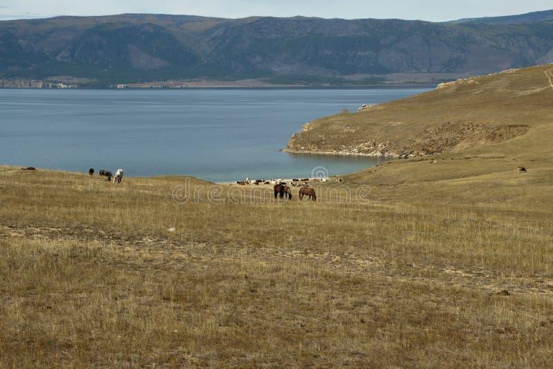 Άλογα που βόσκουν στην ξηρά χλόη με τη λίμνη Baikal στο υπόβαθρο στοκ εικόνες με δικαίωμα ελεύθερης χρήσης