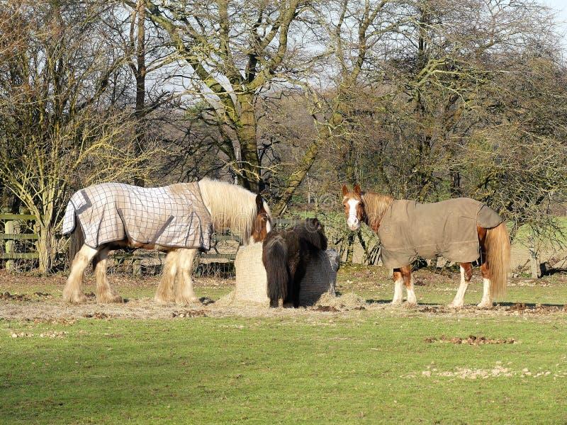 Άλογα που ταΐζουν από το δέμα σανού, Chenies στοκ εικόνα