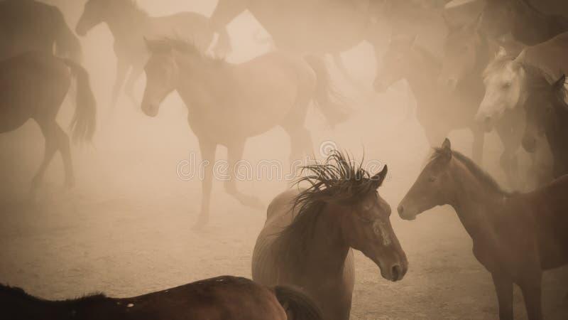 Άλογα που τρέχουν και κλωτσάνε σκόνη Γιλκίκ άλογα στο Καϊσερί Τουρκία είναι άγρια άλογα χωρίς ιδιοκτήτες στοκ εικόνα με δικαίωμα ελεύθερης χρήσης