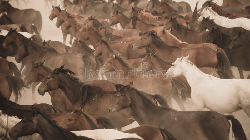 Άλογα που τρέχουν και κλωτσάνε σκόνη Γιλκίκ άλογα στο Καϊσερί Τουρκία είναι άγρια άλογα χωρίς ιδιοκτήτες στοκ φωτογραφίες