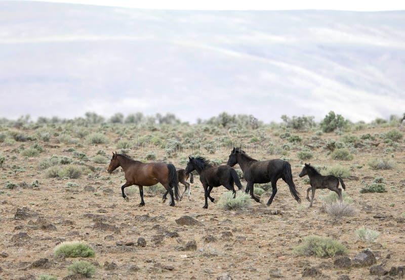 άλογα που τρέχουν τις άγρ&i στοκ φωτογραφία