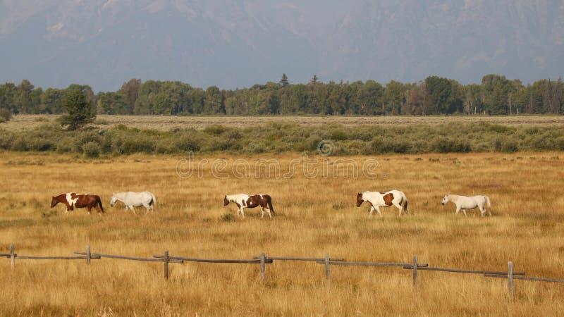 Άλογα στο μεγάλο εθνικό πάρκο Teton, Ουαϊόμινγκ στοκ φωτογραφία με δικαίωμα ελεύθερης χρήσης