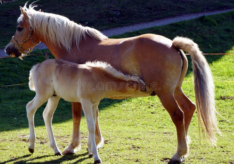 Άλογα Haflinger στοκ εικόνα με δικαίωμα ελεύθερης χρήσης