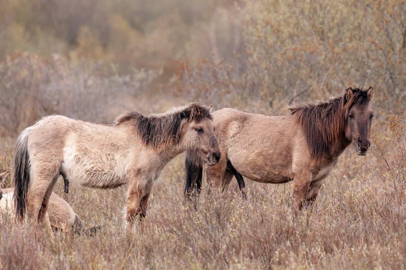 Άλογα Konik στο βόρειο Γκρόνινγκεν στοκ εικόνα με δικαίωμα ελεύθερης χρήσης