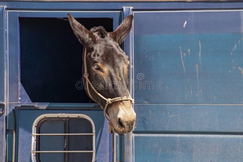 Άλογο ή γάιδαρος με το κεφάλι του που κολλά από ένα παράθυρο σε ένα βρώμικο ρυμουλκό αλόγων στοκ φωτογραφία