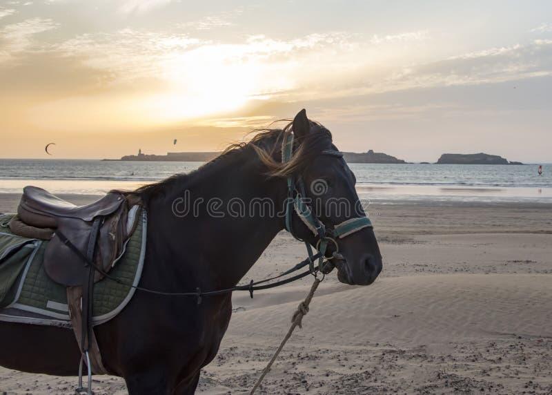 Άλογο με ένα λουρί και μια σέλα που στέκονται σε μια παραλία - kitesurfers και ένα χρυσό ηλιοβασίλεμα στο πίσω έδαφος στοκ εικόνα