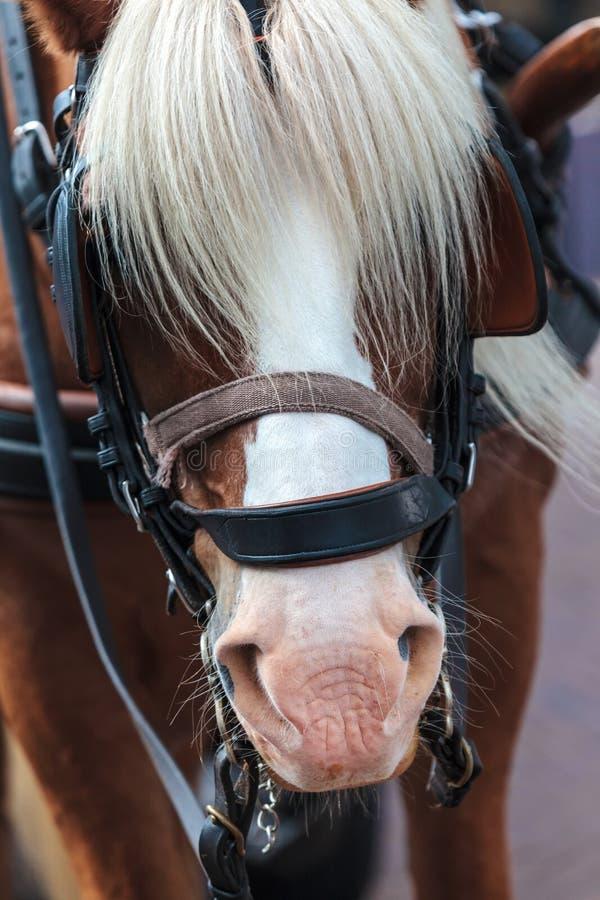 Άλογο με τους Μάιν που καλύπτουν τα μάτια στοκ εικόνα
