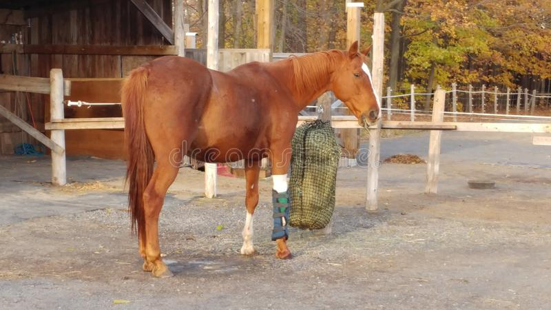 Άλογο με το επιδεμένο πόδι που τρώει το σανό στοκ εικόνες