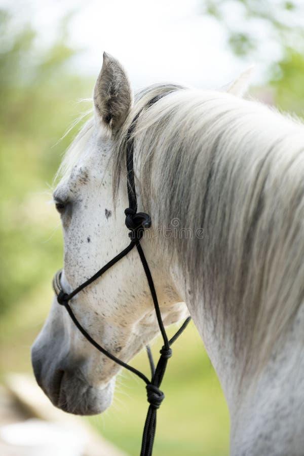 Άλογο με το ηθολογικό halter στοκ φωτογραφία με δικαίωμα ελεύθερης χρήσης