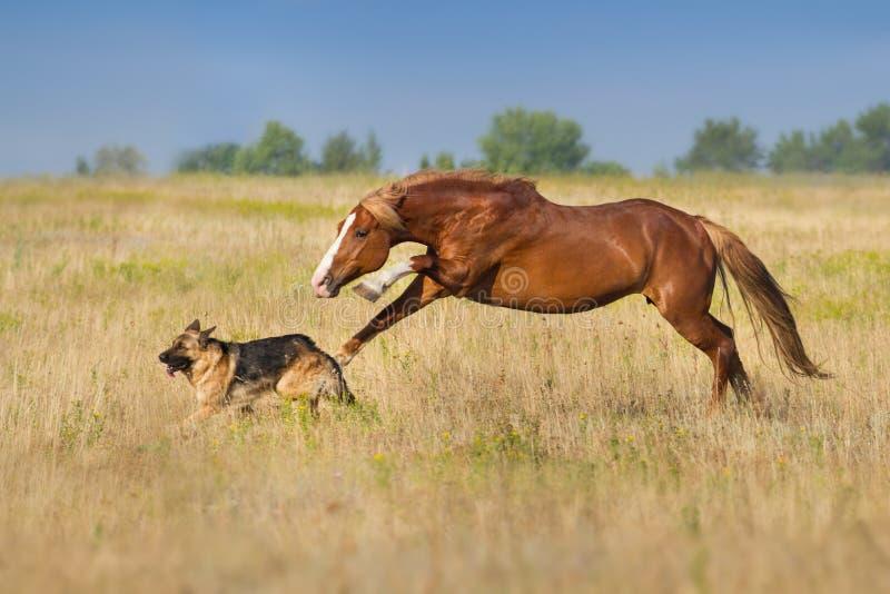 Άλογο που οργανώνεται με το σκυλί στοκ εικόνες