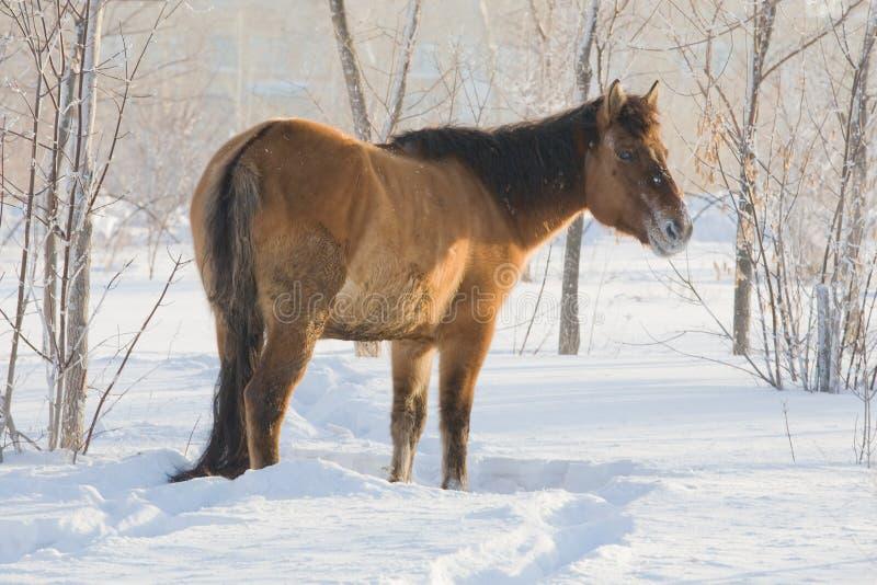 Άλογο στο χιόνι στοκ εικόνα