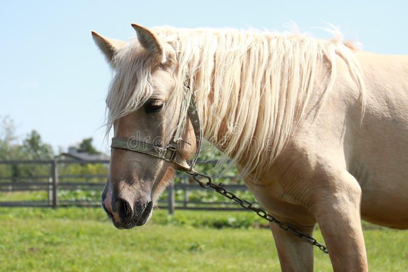 Άλογο της Νίκαιας στο θερινό τομέα στη Ρωσία στοκ εικόνα
