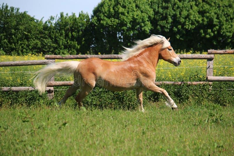 Άλογο τρεξίματος haflinger στη μάντρα στοκ φωτογραφία με δικαίωμα ελεύθερης χρήσης