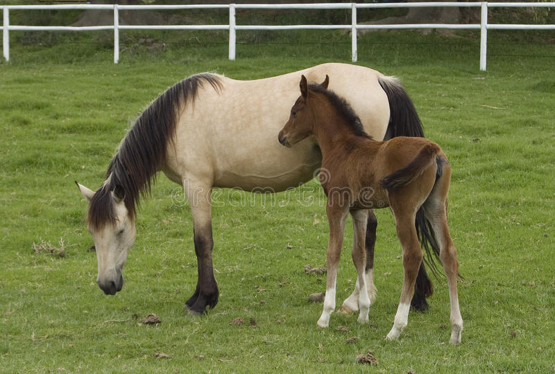 Άλογο φοράδων και φοραδιτσών στοκ εικόνες με δικαίωμα ελεύθερης χρήσης
