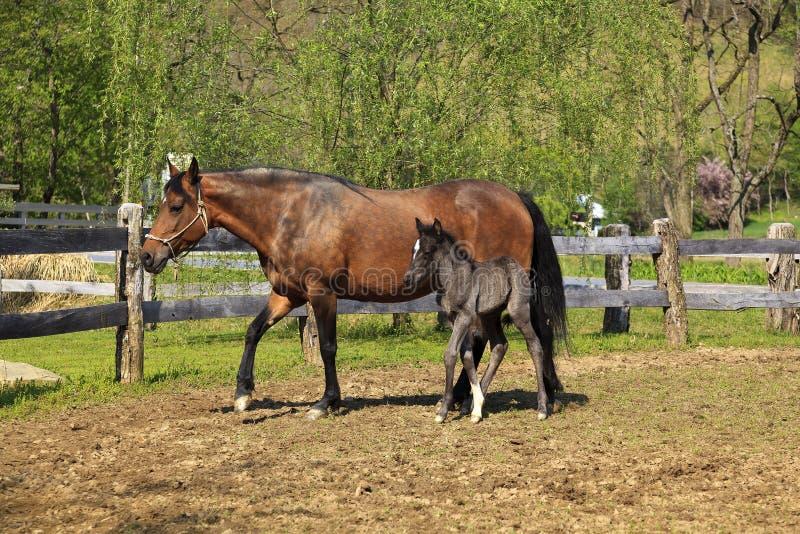 Άλογο φοράδων Fino Paso και το χαριτωμένο πουλάρι της στοκ εικόνες με δικαίωμα ελεύθερης χρήσης