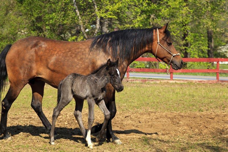 Άλογο φοράδων Fino Paso και χαριτωμένο πουλάρι που στέκονται από κοινού στοκ εικόνες