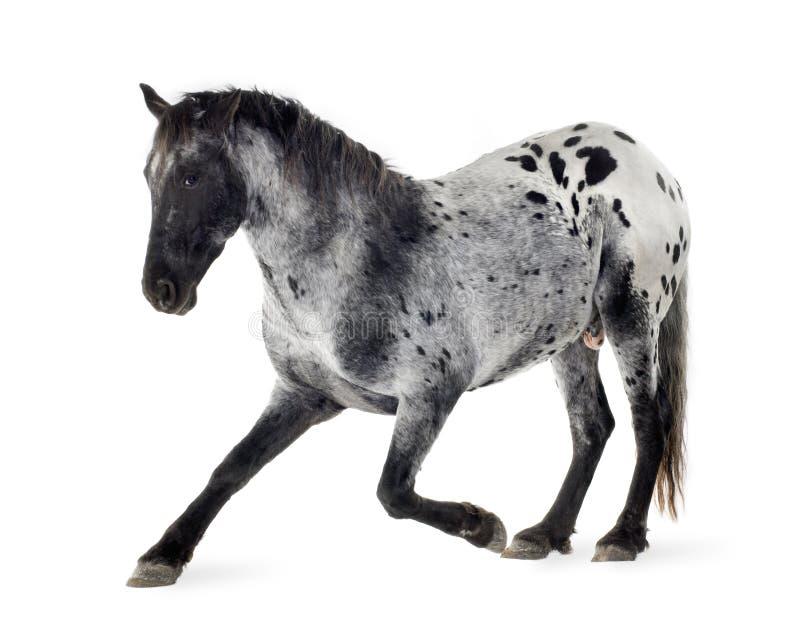 άλογο appaloosa στοκ εικόνες