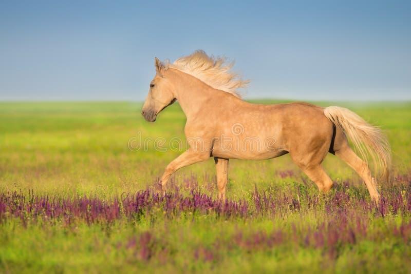 Άλογο Cremello στα λουλούδια salvia στοκ εικόνα με δικαίωμα ελεύθερης χρήσης