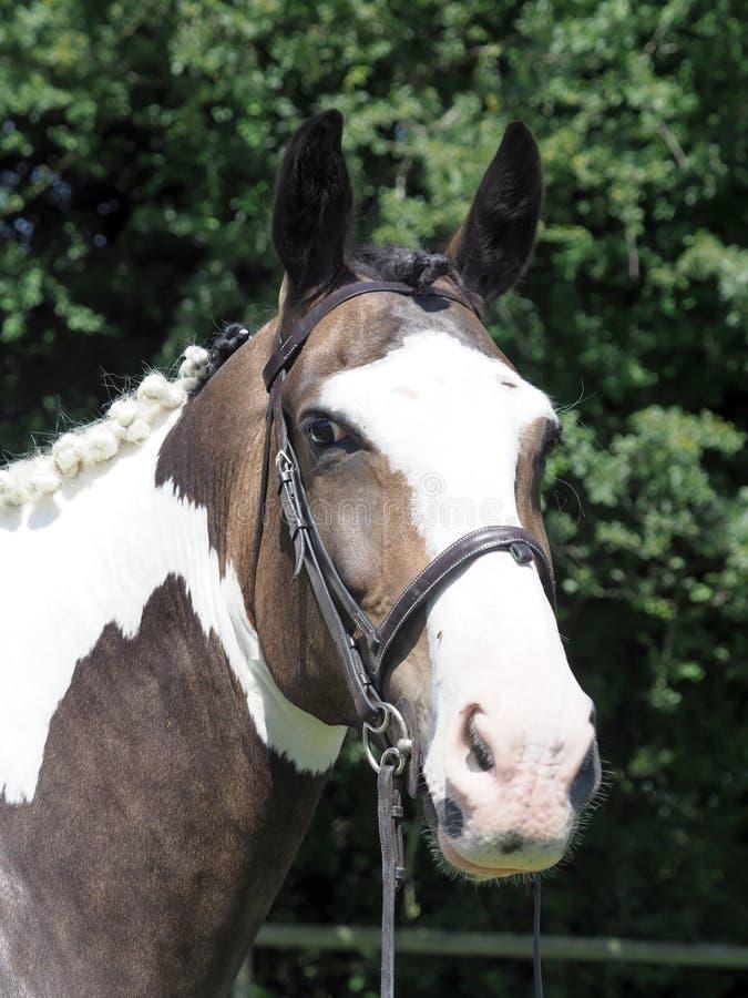 Άλογο Headshot στοκ φωτογραφίες
