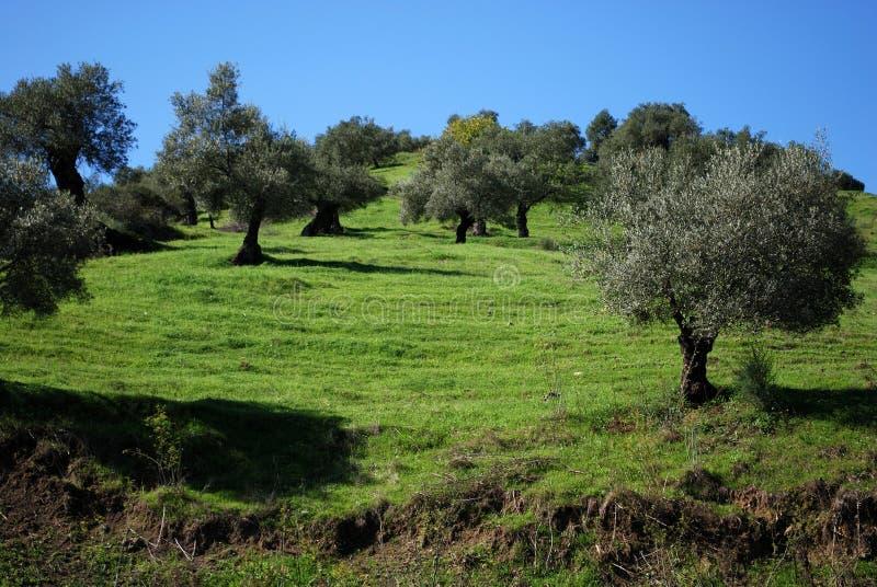 Άλσος ελιών, Ανδαλουσία, Ισπανία. στοκ εικόνες