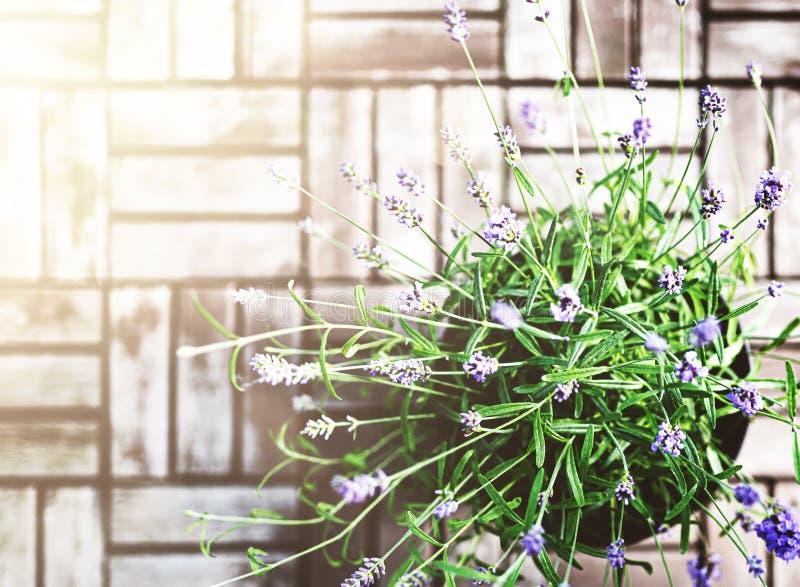 Άμεσα επάνω από τον πυροβολισμό των σε δοχείο lavender εγκαταστάσεων στοκ εικόνα με δικαίωμα ελεύθερης χρήσης