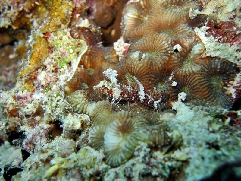 Download άμμος triplefin στοκ εικόνες. εικόνα από ωκεανός, μικροσκοπικός - 387622