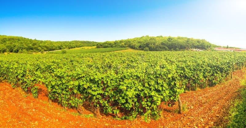Άμπελοι πανοράματος σε έναν αμπελώνα το φθινόπωρο Σταφύλια κρασιού πριν από τα ιταλικά κρασιά συγκομιδών στοκ εικόνες