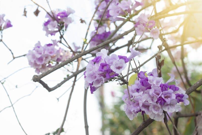 Άμπελος σκόρδου ή λουλούδι alliacea Mansoa στο δέντρο με το φως του ήλιου στοκ φωτογραφία με δικαίωμα ελεύθερης χρήσης