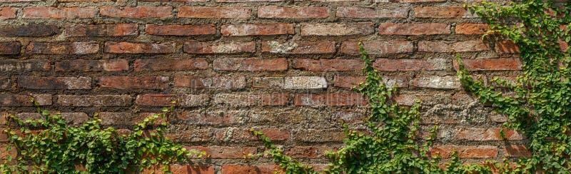Άμπελος στον κόκκινο παλαιό τρύγο σύστασης υποβάθρου τούβλου τοίχων grunge στοκ εικόνα με δικαίωμα ελεύθερης χρήσης