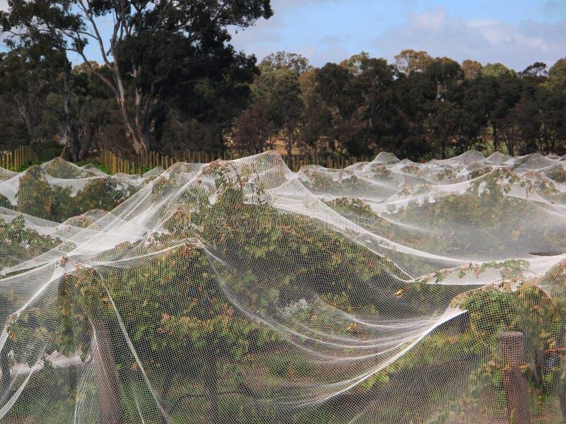 Άμπελοι σταφυλιών που καλύπτονται με την αλιεία με δίχτυα πουλιών στοκ φωτογραφίες με δικαίωμα ελεύθερης χρήσης