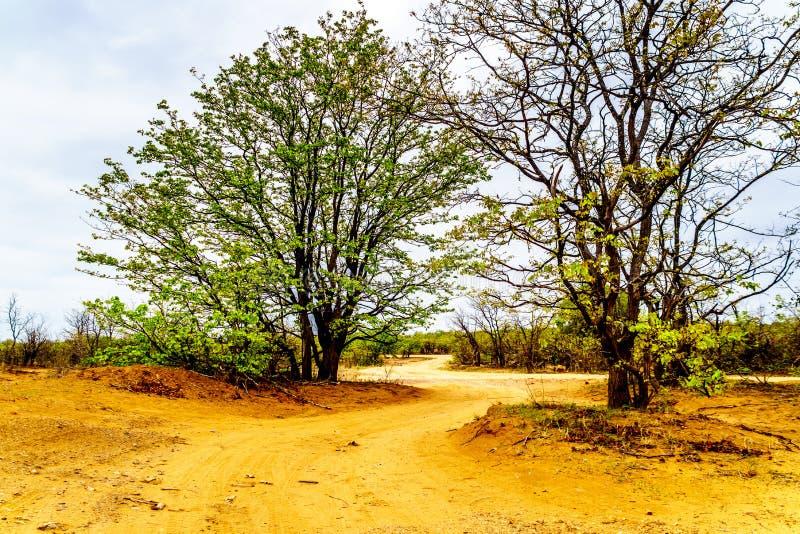 Άνεμος βρώμικος δρόμος κοντά στο στρατόπεδο Letaba στο εθνικό πάρκο Kruger στοκ εικόνα με δικαίωμα ελεύθερης χρήσης