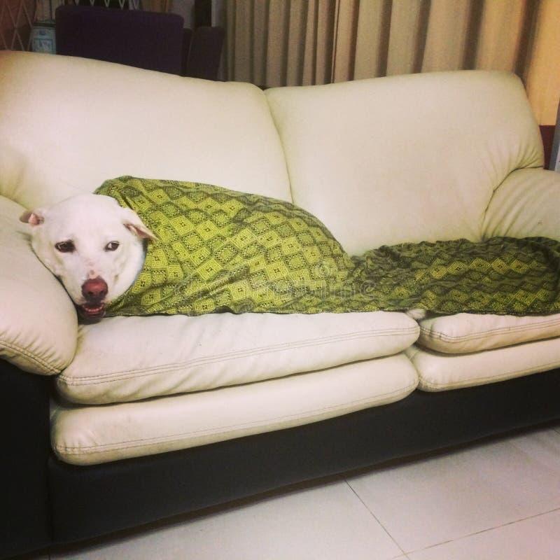 Άνετο σκυλί σε έναν καναπέ στοκ φωτογραφία με δικαίωμα ελεύθερης χρήσης