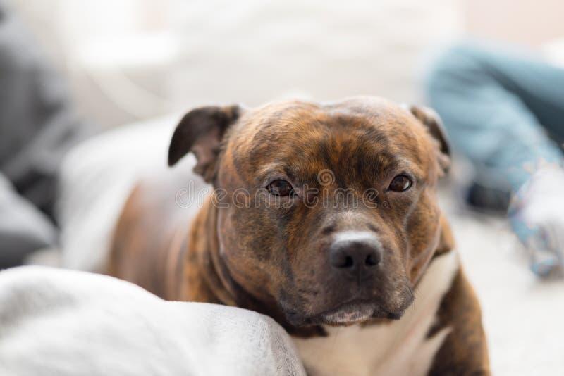 Άνετο τεριέ ταύρων Staffordshire που βρίσκεται στον καναπέ που κοιτάζει στοκ εικόνες με δικαίωμα ελεύθερης χρήσης