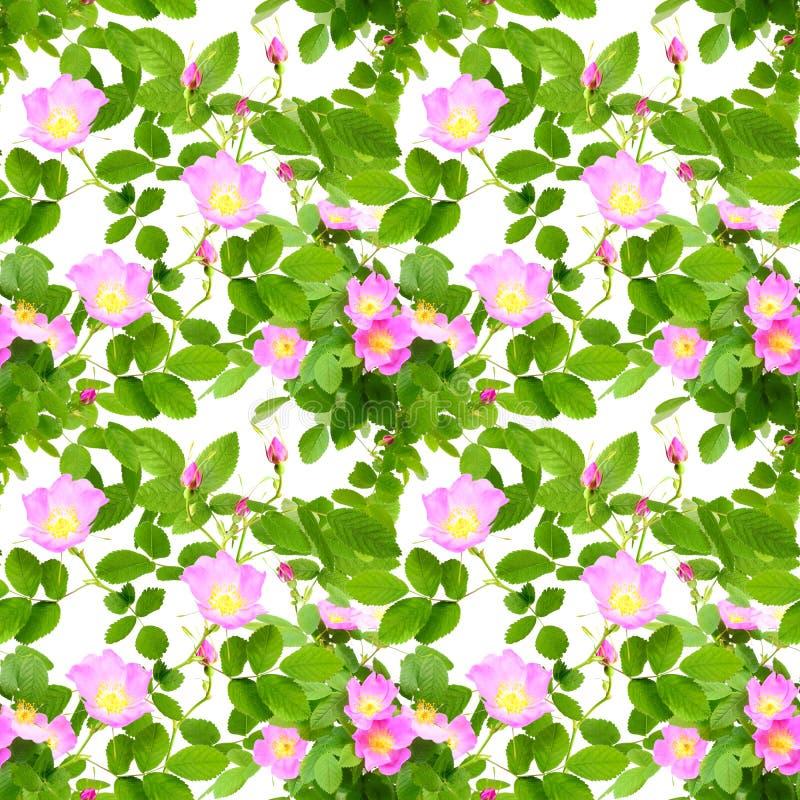 Άνευ ραφής σχέδιο των λουλουδιών σκυλί-τριαντάφυλλων στοκ εικόνες