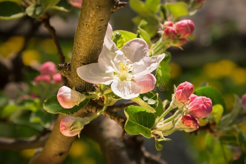 άνθηση μήλων στοκ εικόνα