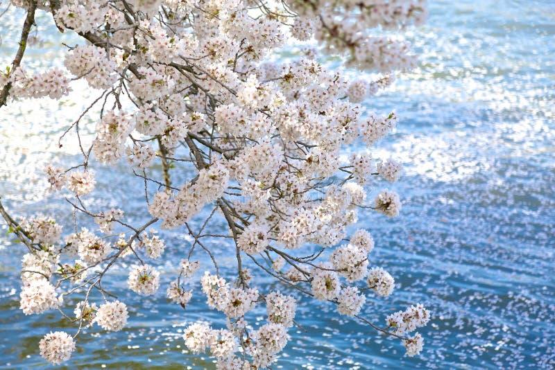 Άνθη δέντρων κερασιών στοκ φωτογραφίες με δικαίωμα ελεύθερης χρήσης