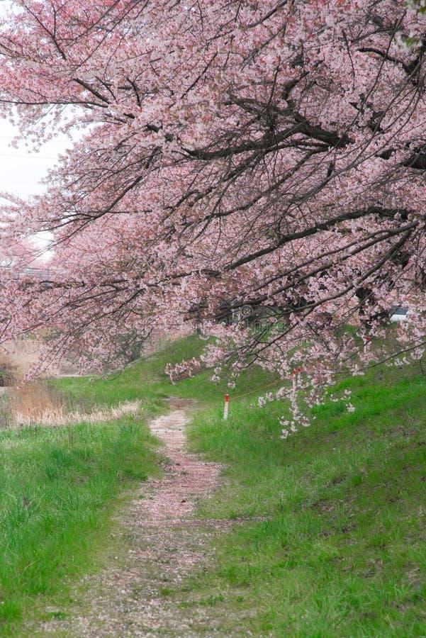 Άνθη ή Sakura κερασιών κοντά στο σταθμό Kikuta, Ιαπωνία στοκ φωτογραφίες με δικαίωμα ελεύθερης χρήσης