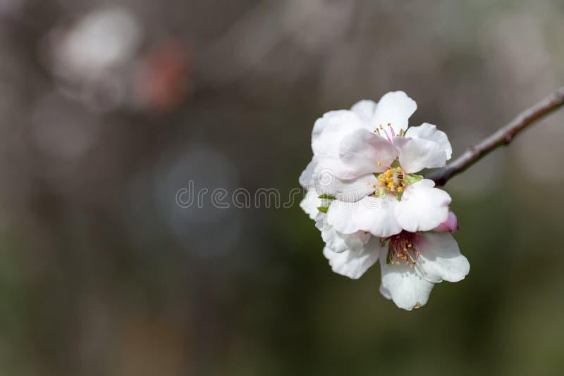 Άνθη αμυγδαλιών που ανθίζουν στο πάρκο κατά τη διάρκεια τον Αυγούστου του Spri στοκ εικόνες