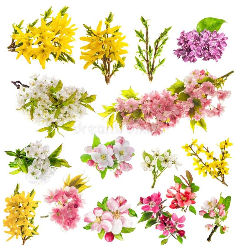 Άνθη ανοίξεων δέντρων μηλιάς λουλουδιών που απομονώνονται στο άσπρο υπόβαθρο στοκ φωτογραφίες