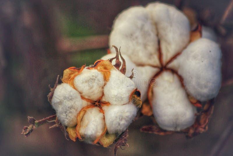 Άνθη βαμβακιού στοκ φωτογραφίες με δικαίωμα ελεύθερης χρήσης