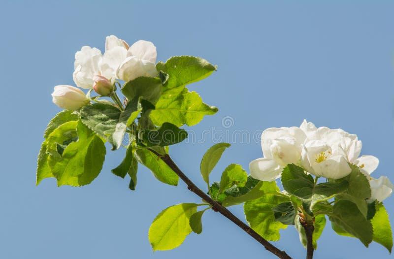 Άνθη δέντρων της Apple την άνοιξη με τα όμορφα λουλούδια πέρα από το μπλε ουρανό, κινηματογράφηση σε πρώτο πλάνο στοκ φωτογραφίες