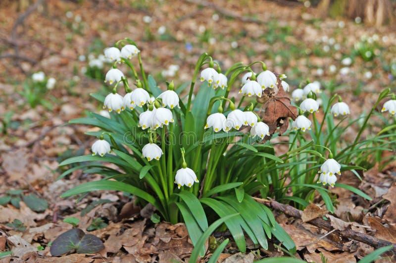 Άνθη και μπουμπούκια από χιονοπτώσεις με λευκά πέταλα και πράσινα φύλλα στοκ εικόνα με δικαίωμα ελεύθερης χρήσης